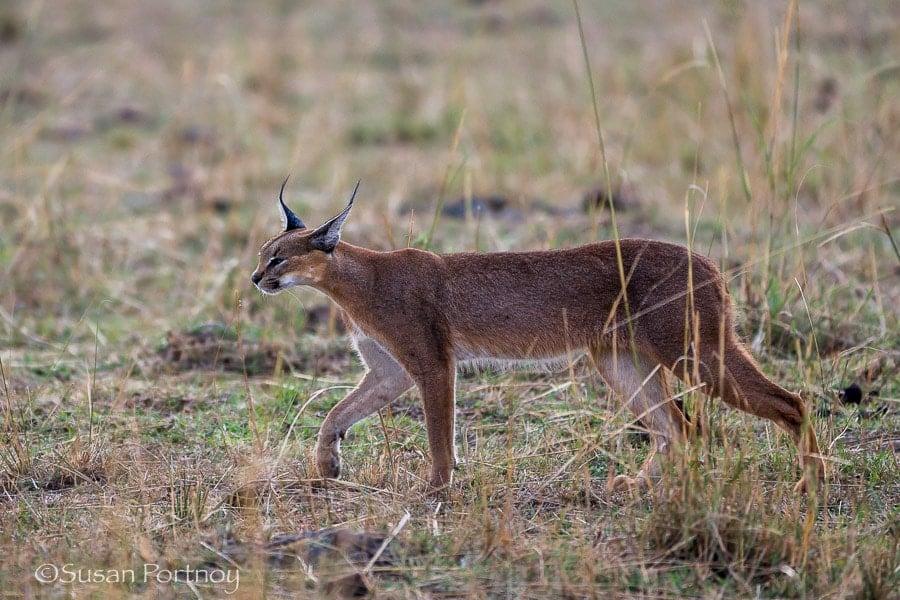 Photographing caracal in the Masai Mara, Kenya