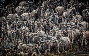 Large heard of wildebeest walking crossing the Mara River Kenya