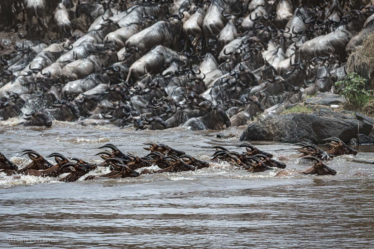 Topi swim across the Mara River during the wildebeest migration