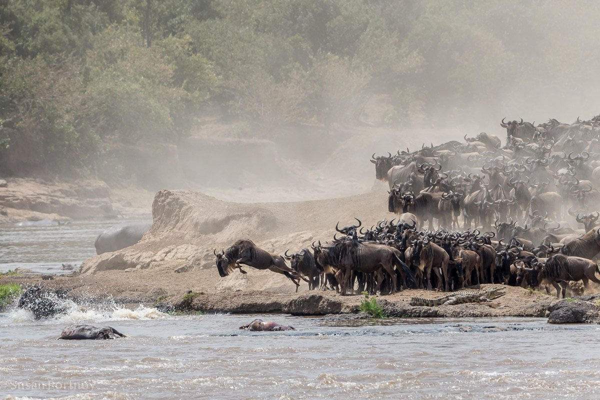 Wildebeest leap into the Mara River during the migration