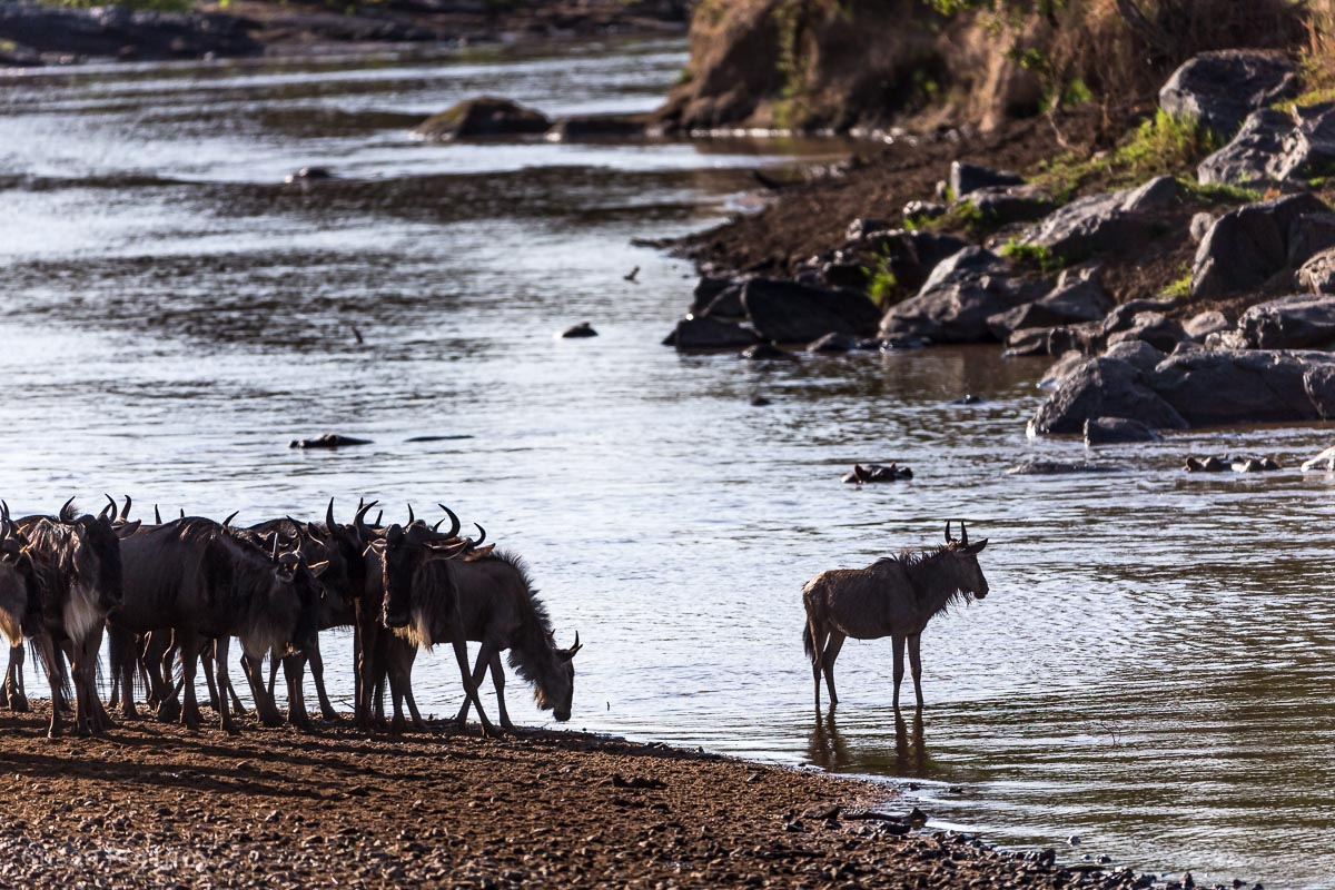 lone wildebeest in the water after a crossing