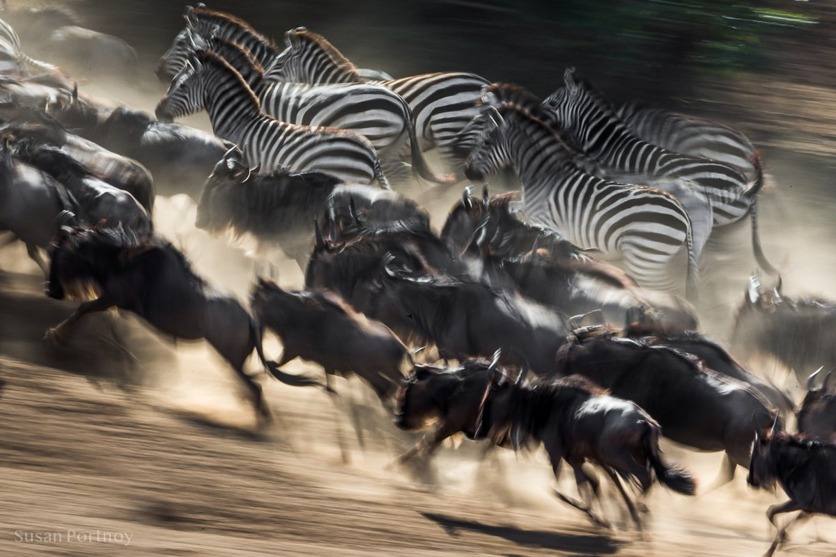 Wildebeest and zebra, spooked by who knows what, run from the edge of the water up a hill near the Mara River.