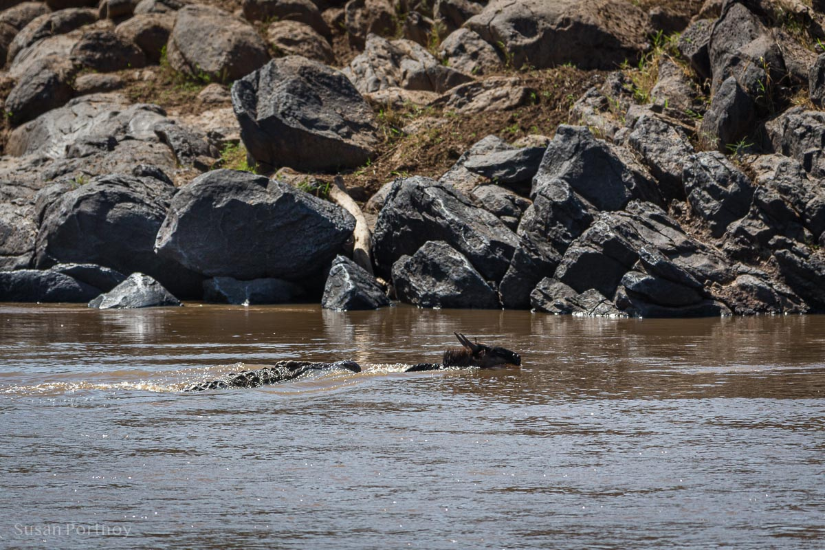 Crocodile swims after a wildebeest crossing the Mara River in Kenya