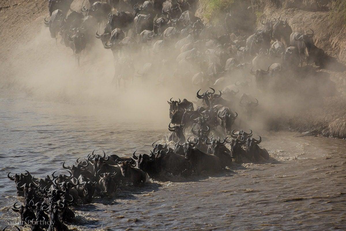 Al large herd of Wildebeest crossing the Mara River in Kenya