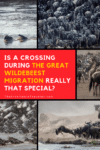 Is a Crossing During the Great Wildebeest Migration Really That Special?