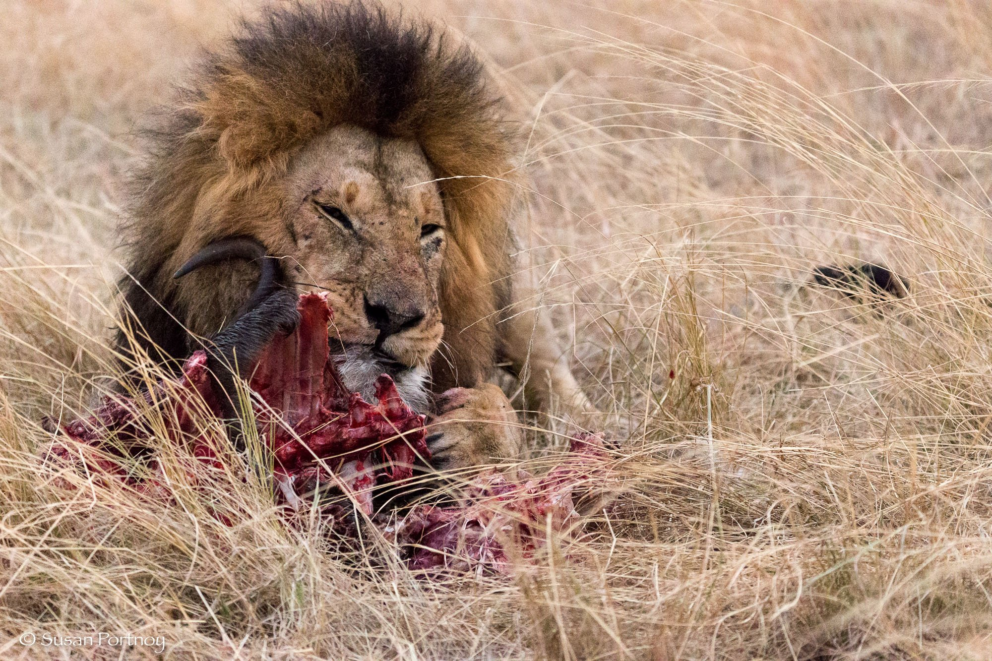 A big male lion eats a kill in the high grass of the Masai Mara