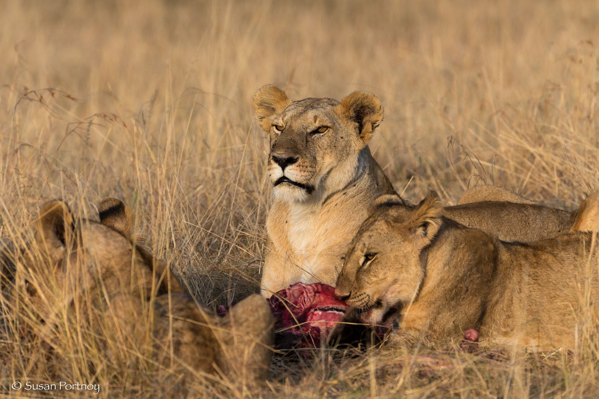 A lioness and her cubs eats a kill near Mara Plains Camp in Kenya