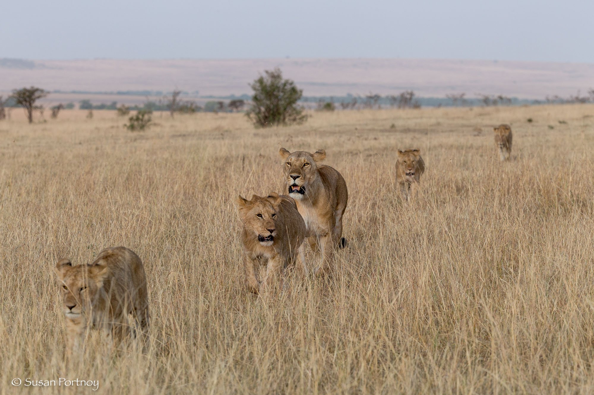 A lioness and her cubs walking in a line in the Masai Mara.