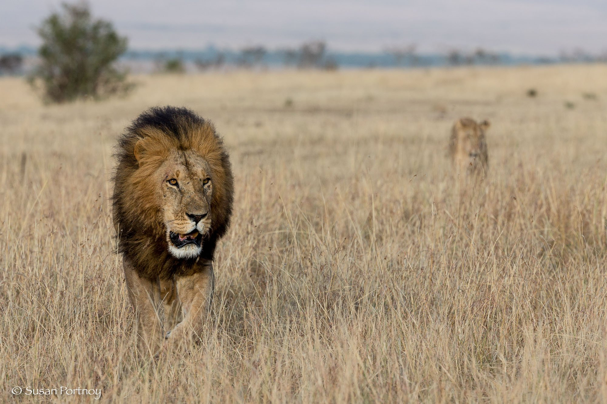 A male lion walking on the plain with a female lion trailing behind.