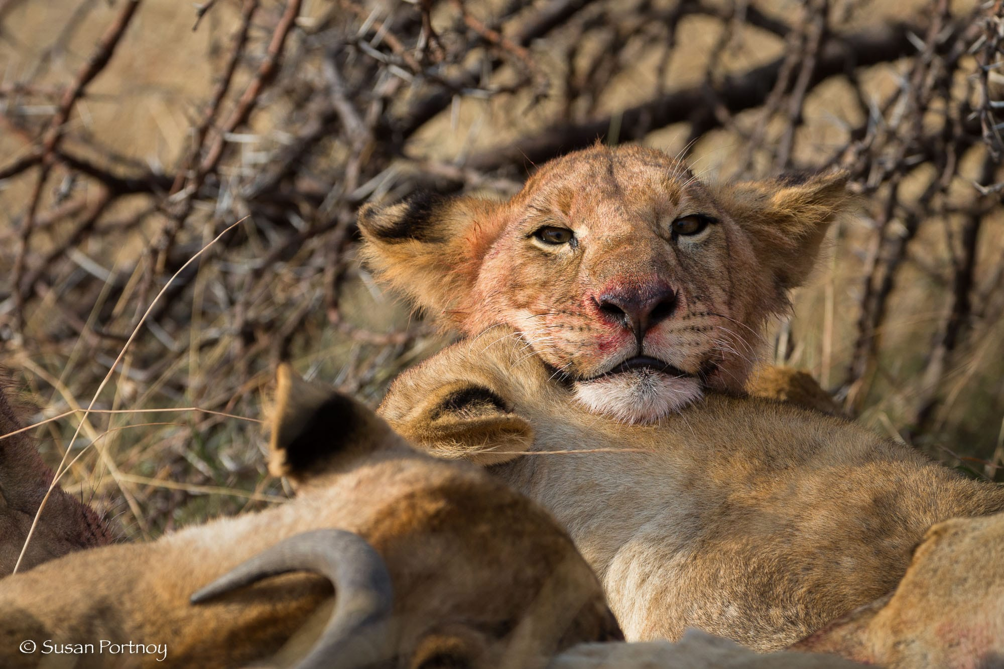 Lion cub with blood on its mouth eating looks at the camera
