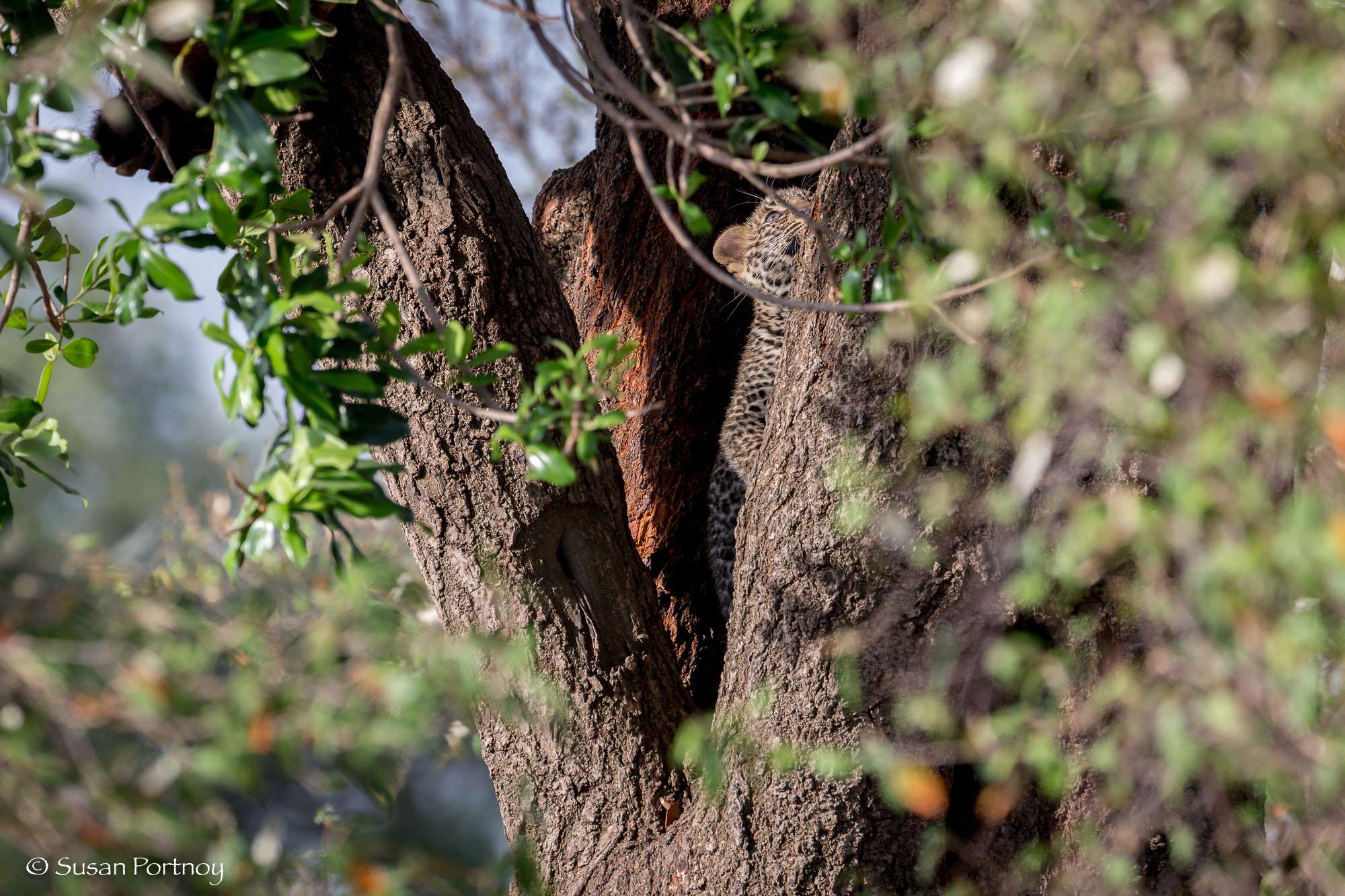 A baby leopard climbing a tree in Kenya