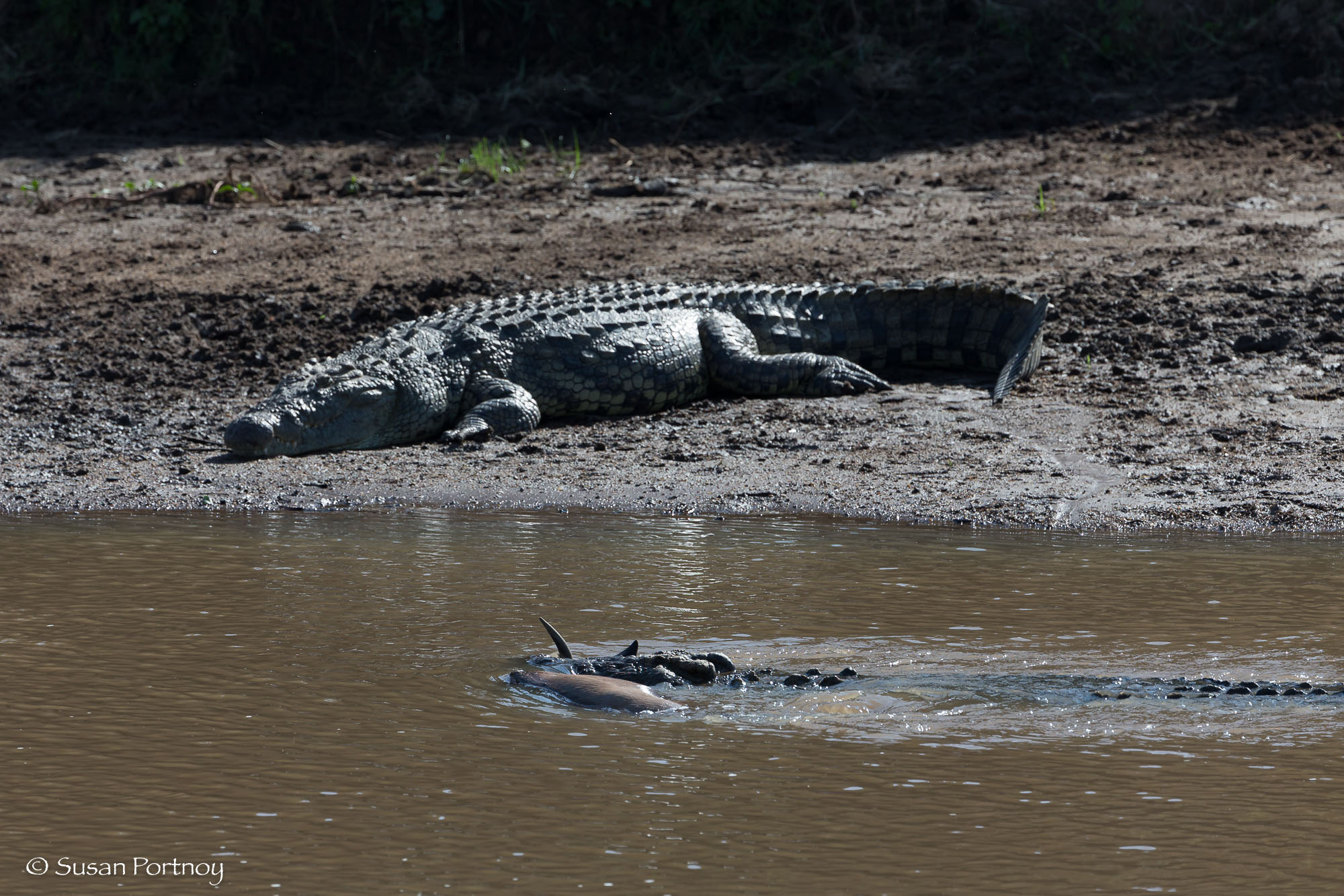 crocodile with a wildebeest in its jaws swims in the Mara River in front of a crocodile sunning on the shore