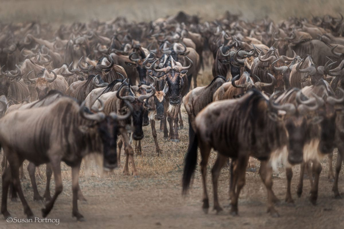 Wildebeest in large herd walking up from the riverbank after crossing