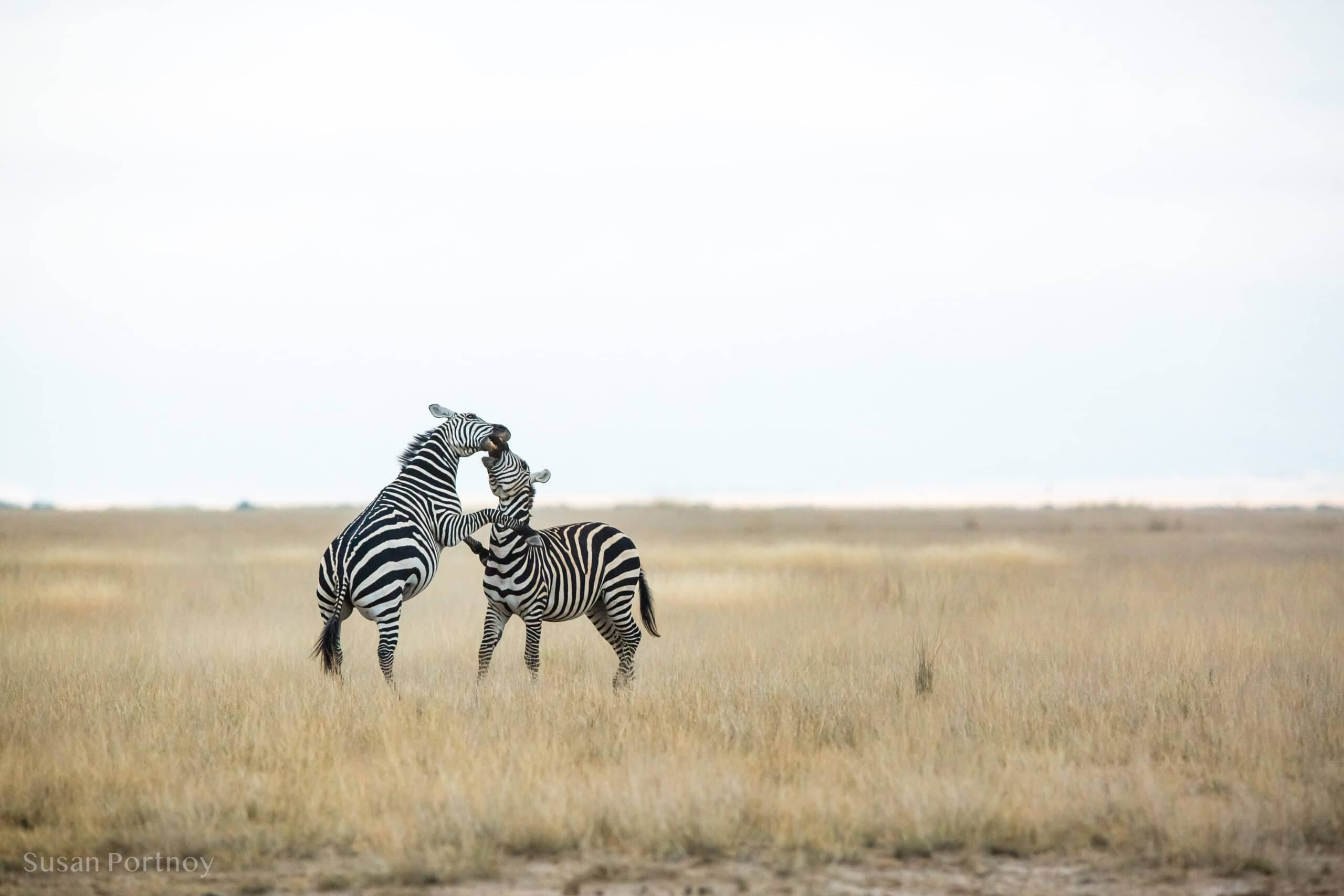 Two male zebras spar for dominance in Amboseli, Kenya