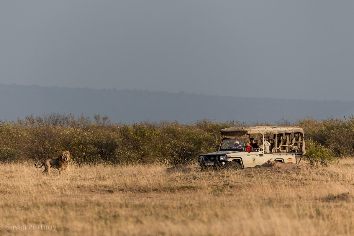 A lion in front of a safari vehicle in the Masa Mara - Kenya Wildlife Safari_-332301