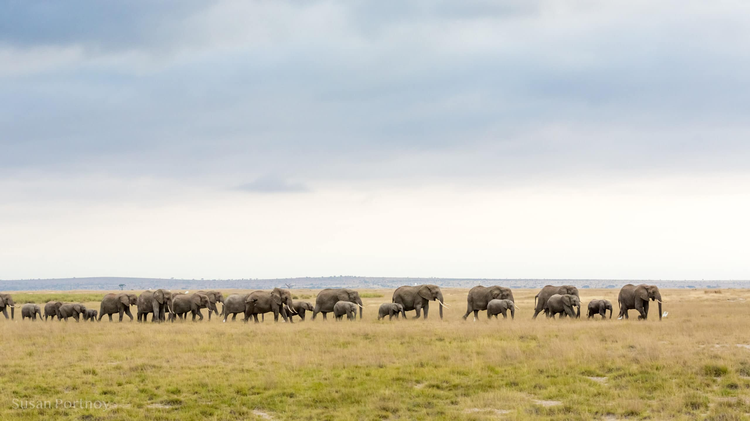 Large herd of elephants in Amboseli, Kenya
