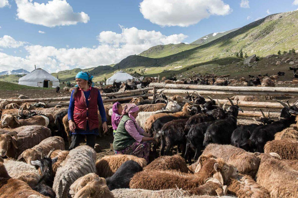 Mongolian Kazakh women milking their goats