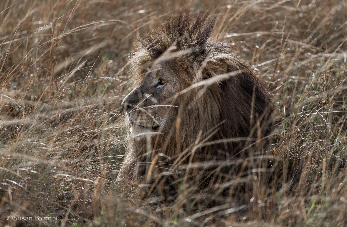 Scar the lion in the grass in the Masai Mara, Kenya