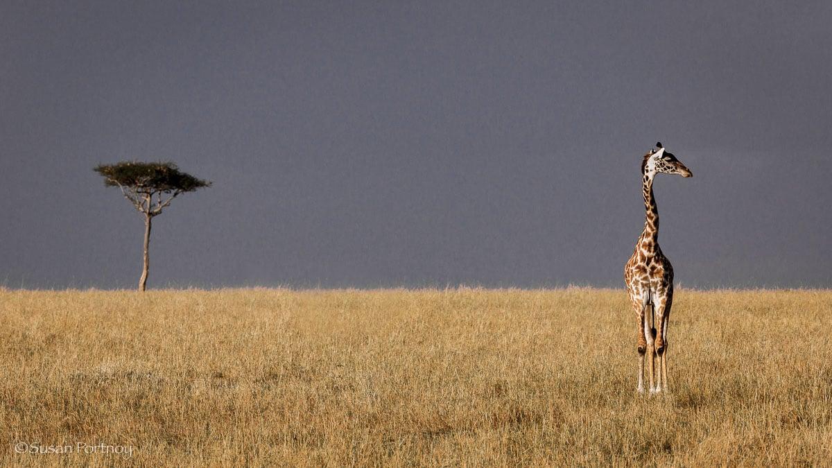Giraffe standing in the Masai Mara in Kenya