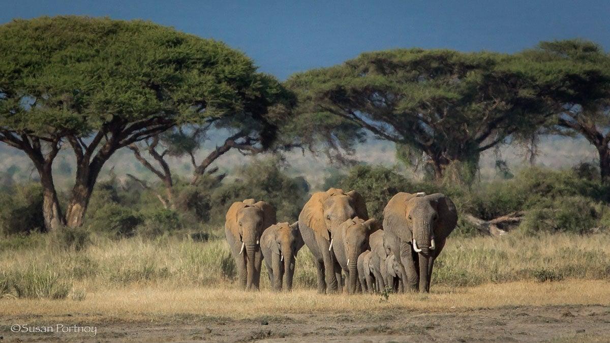 Herd of elephants walking toward camera in Amboseli, Kenya