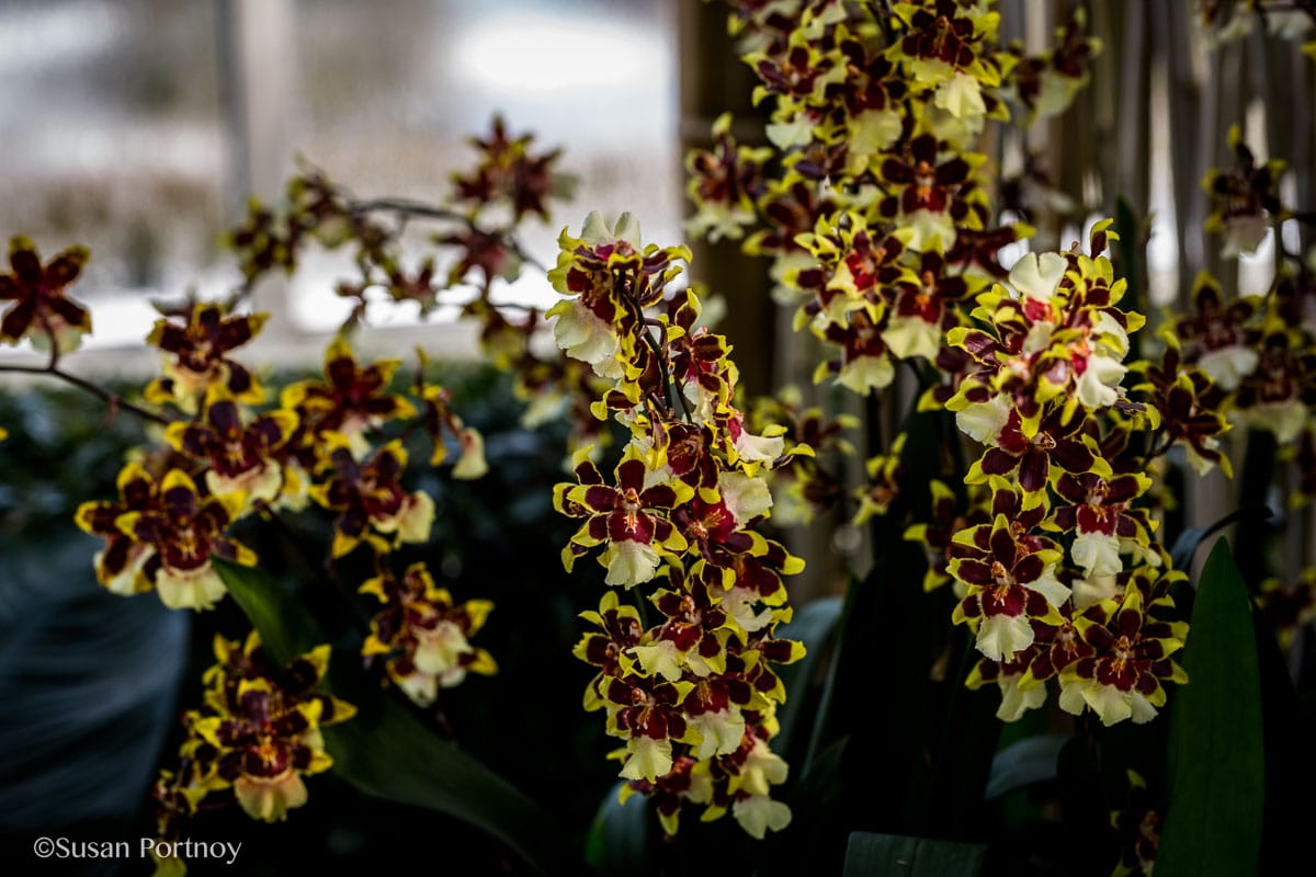 Ny Botanical Garden Orchid Show Thailand 11 The