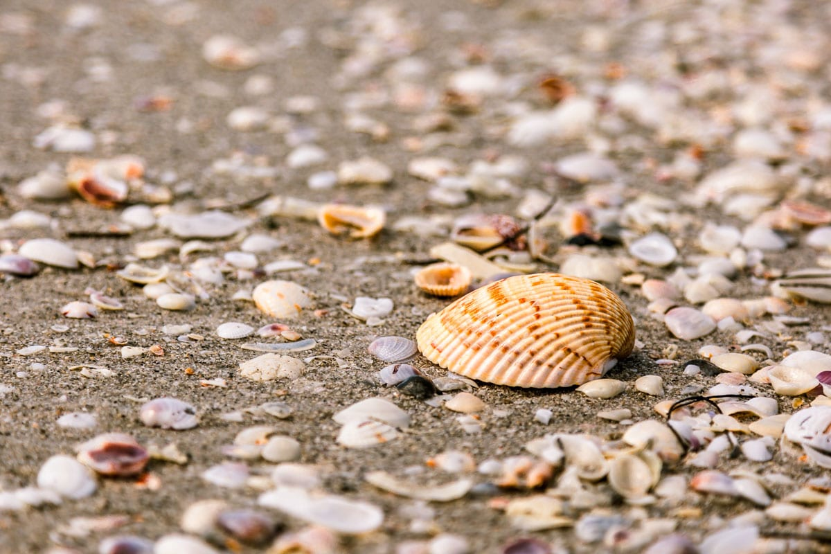Large shell amongst small shells on Cayo Costa Beach in Florida