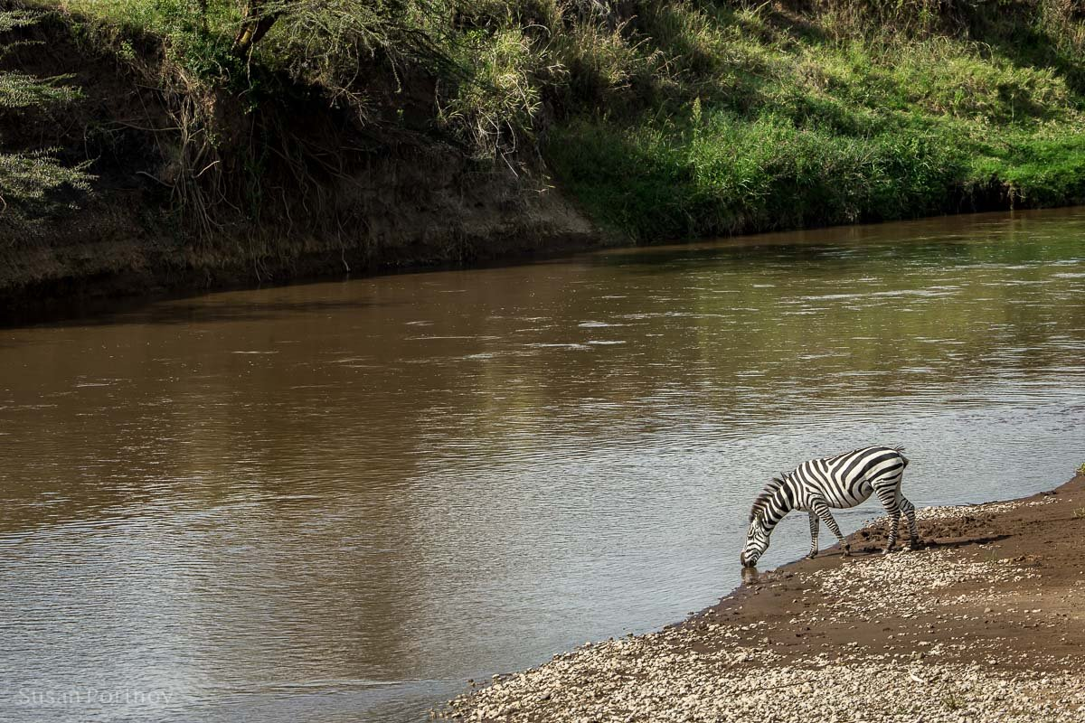 A zebra drinks water out of the Mara River in Kenya