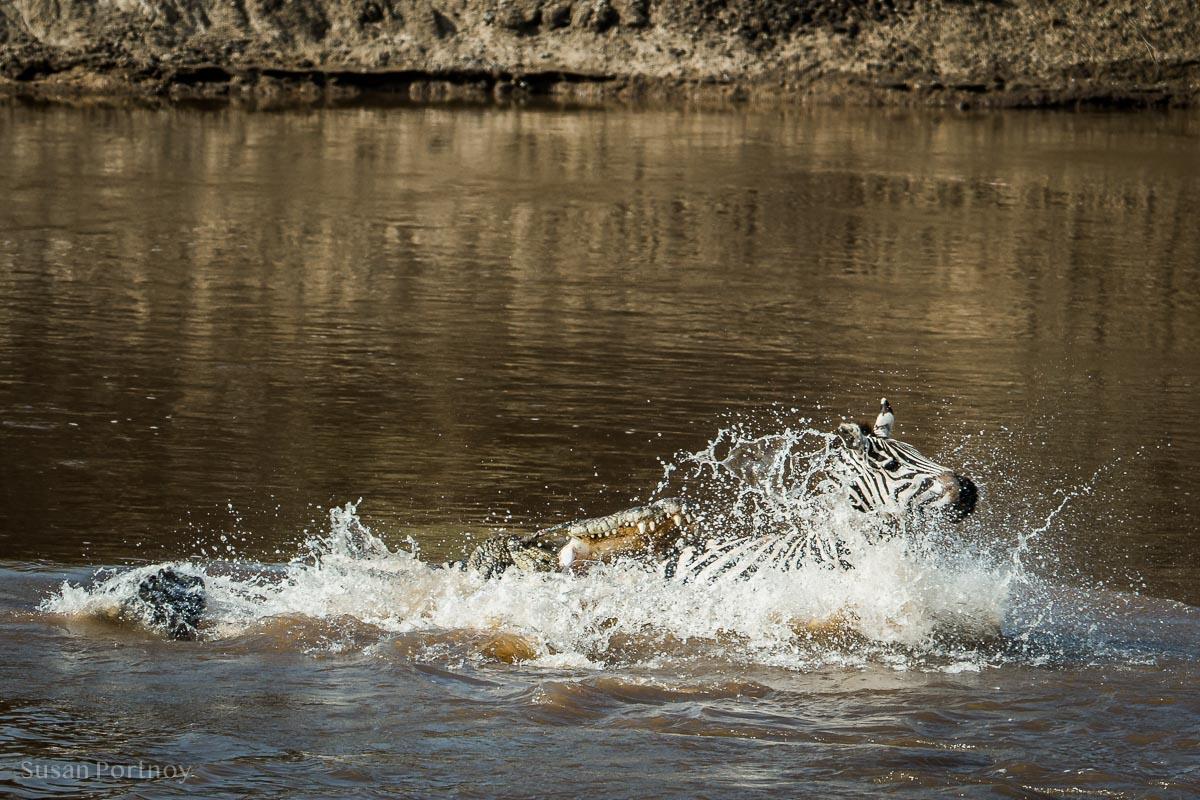 Crocodile attacking a zebra in the Mara River.