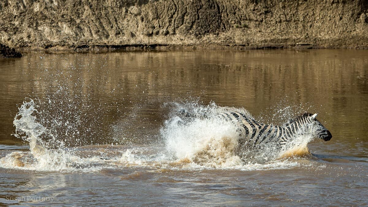 A zebra being attacked by a crocodile kicks the predator and escapes