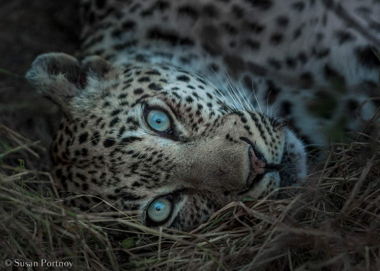 Tips for Taking Amazing Wildlife Photos on a Safari Adventure--Leopard close up