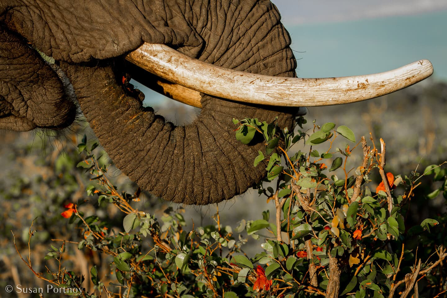 Tips for Taking Amazing Wildlife Photos on a Safari Adventure--elephant trunk and tusks close up