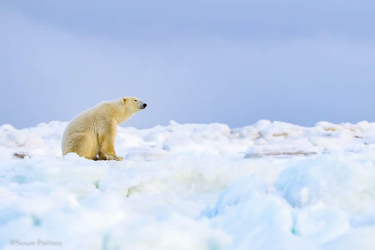 Polar Bear | Canada's Walking Polar Bear Photo Safari -Seal River Heritage Lodge-Manitoba-040901