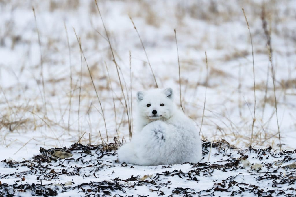 An Arctic fox curled up on the tundra. One of the many other animals you're likely to see on Churchill's polar bear tours.