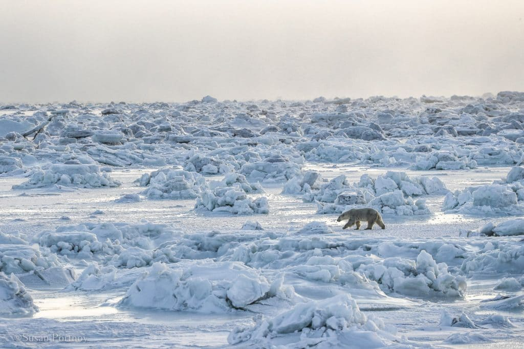 Polar bear walking on a frozen Hudson Bay in Northern Manitoba