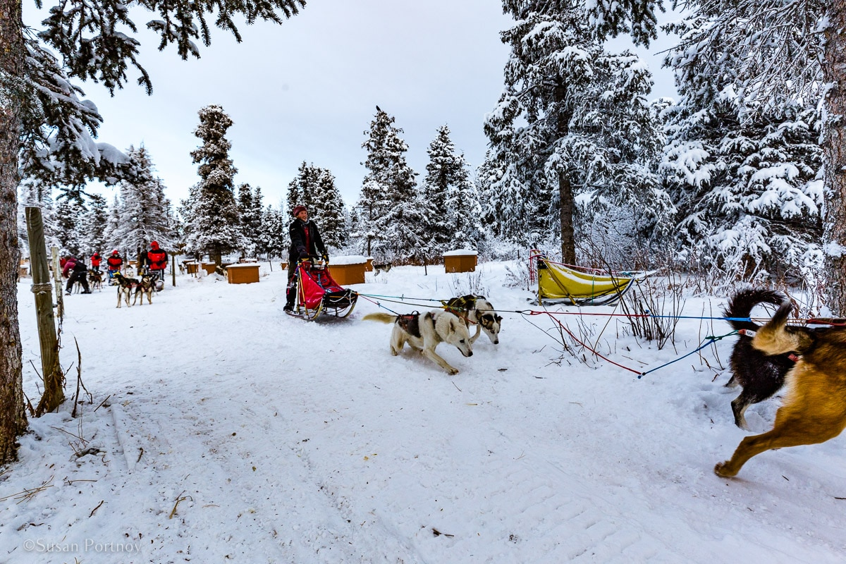Dogs running in Canada as if in the greatest dog sled race in the world.