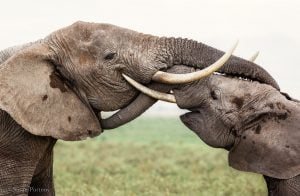 Two elephants -