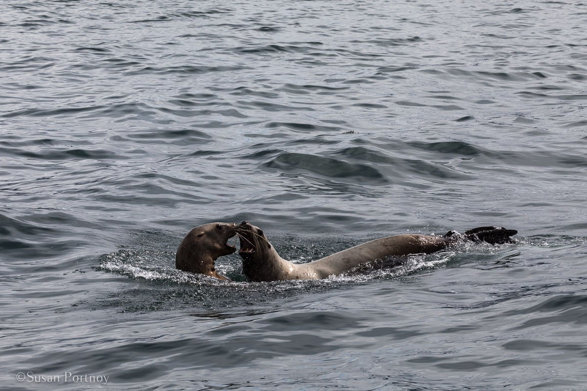 Two seals I spotted playing in the water during my whale watching excursion in Juneau- - Lessons Learned on an Big Ship Alaskan Cruise -174020180606