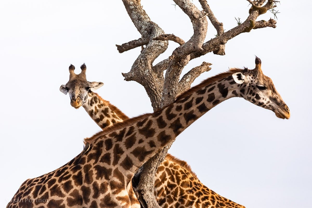 Giraffe - Masai Mara - How to Experience More Beyond Kenya's Big Five -0109