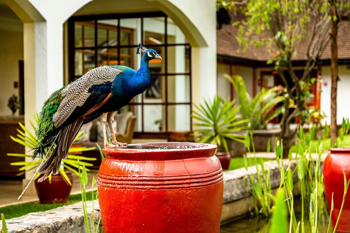 Peacock at the Mount Kenya Safari Club - How to Experience More Beyond Kenya's Big Five -7118