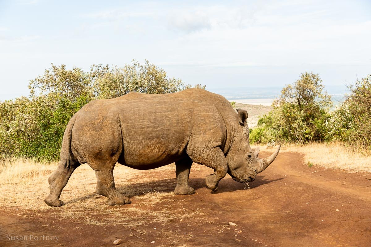 Kofi Anan - southern white rhino - Masai Mara - How to Experience More Beyond Kenya's Big Five -8241