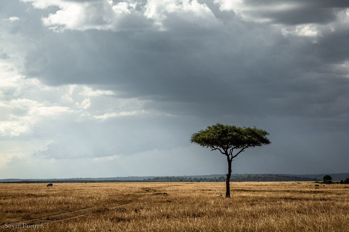 A lone acacia tree in the middle of the Masai Mara with dark clouds overhead. Photo taken while on safari