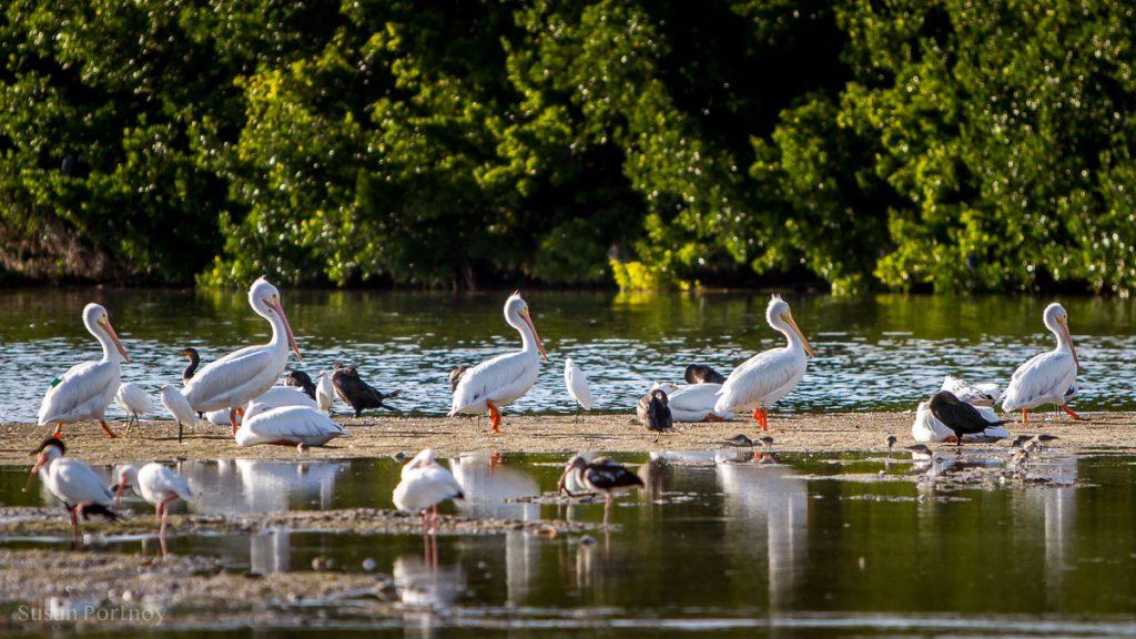 White Pelicans - Best Guide to the Ding Darling Wildlife Refuge on Sanibel Island-061301