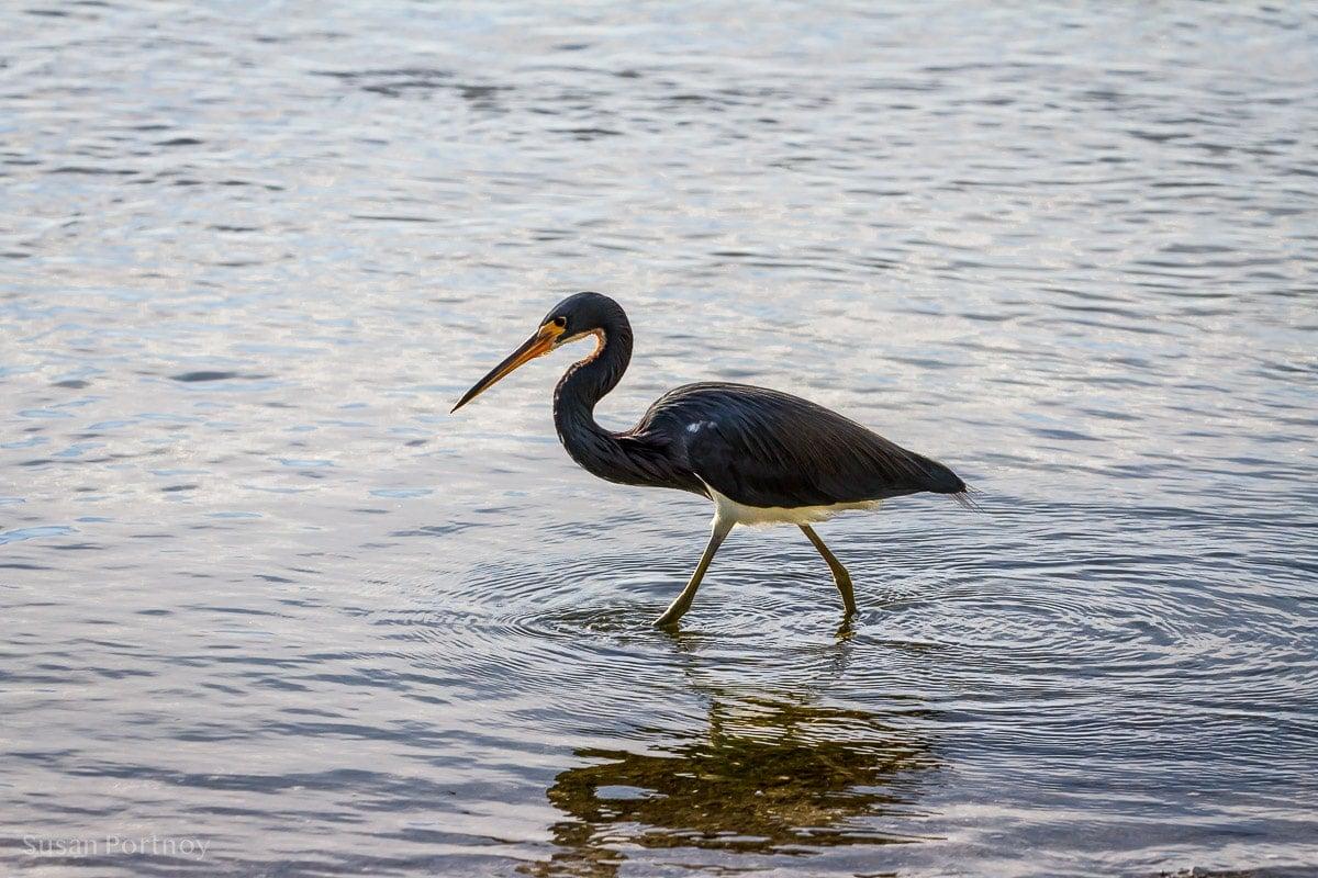 Bird walking in water - Best Guide to the Ding Darling Wildlife Refuge on Sanibel Island-063701