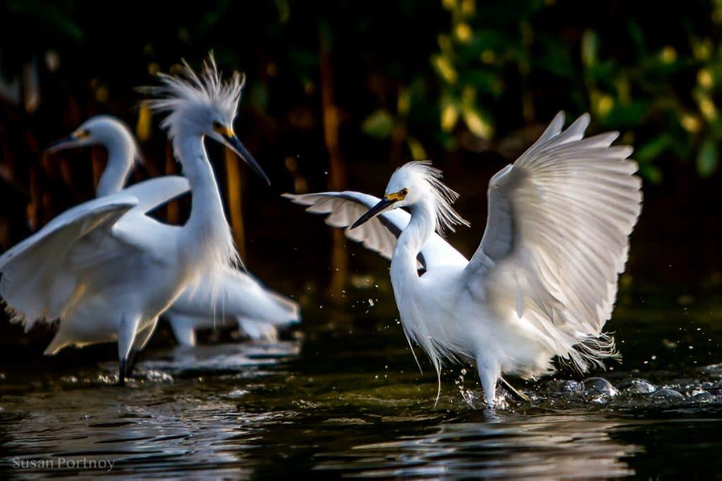 Two egrets -Best Guide to the Ding Darling Wildlife Refuge on Sanibel Island