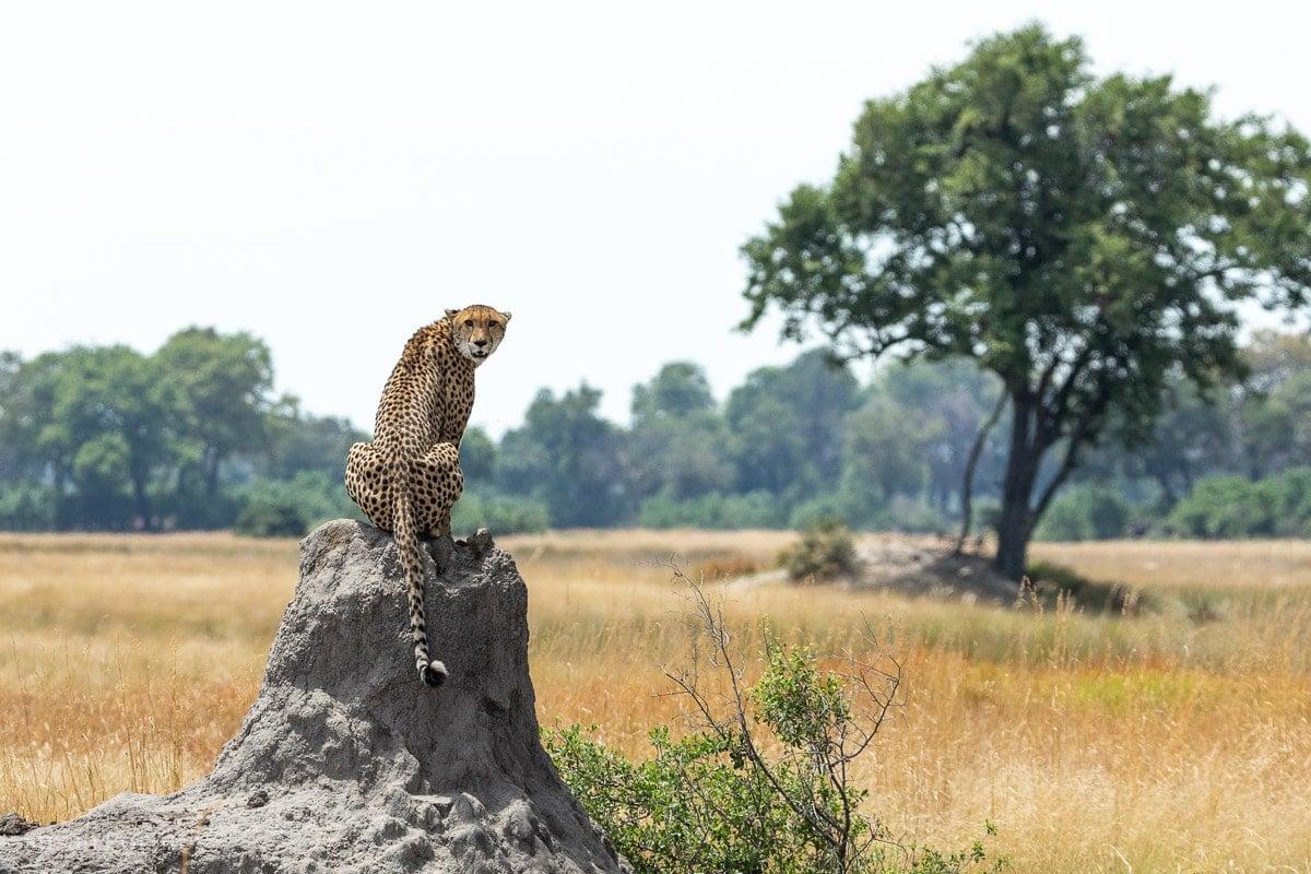 Cheetah momma scans her domain in search of prey - Duba Explorers Camp Okavango Delta, Botswana-017805