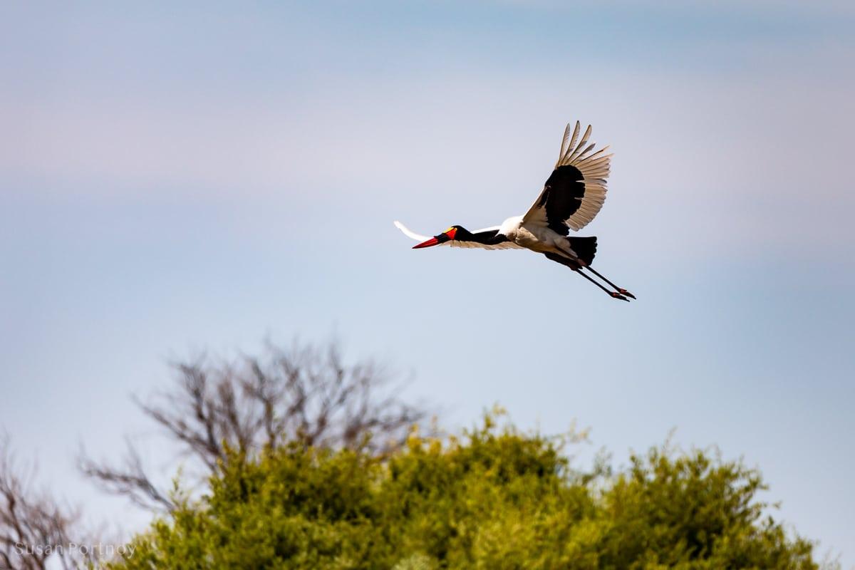 A saddle-billed stork flying - Duba Explorers Camp Okavango Delta, Botswana-201