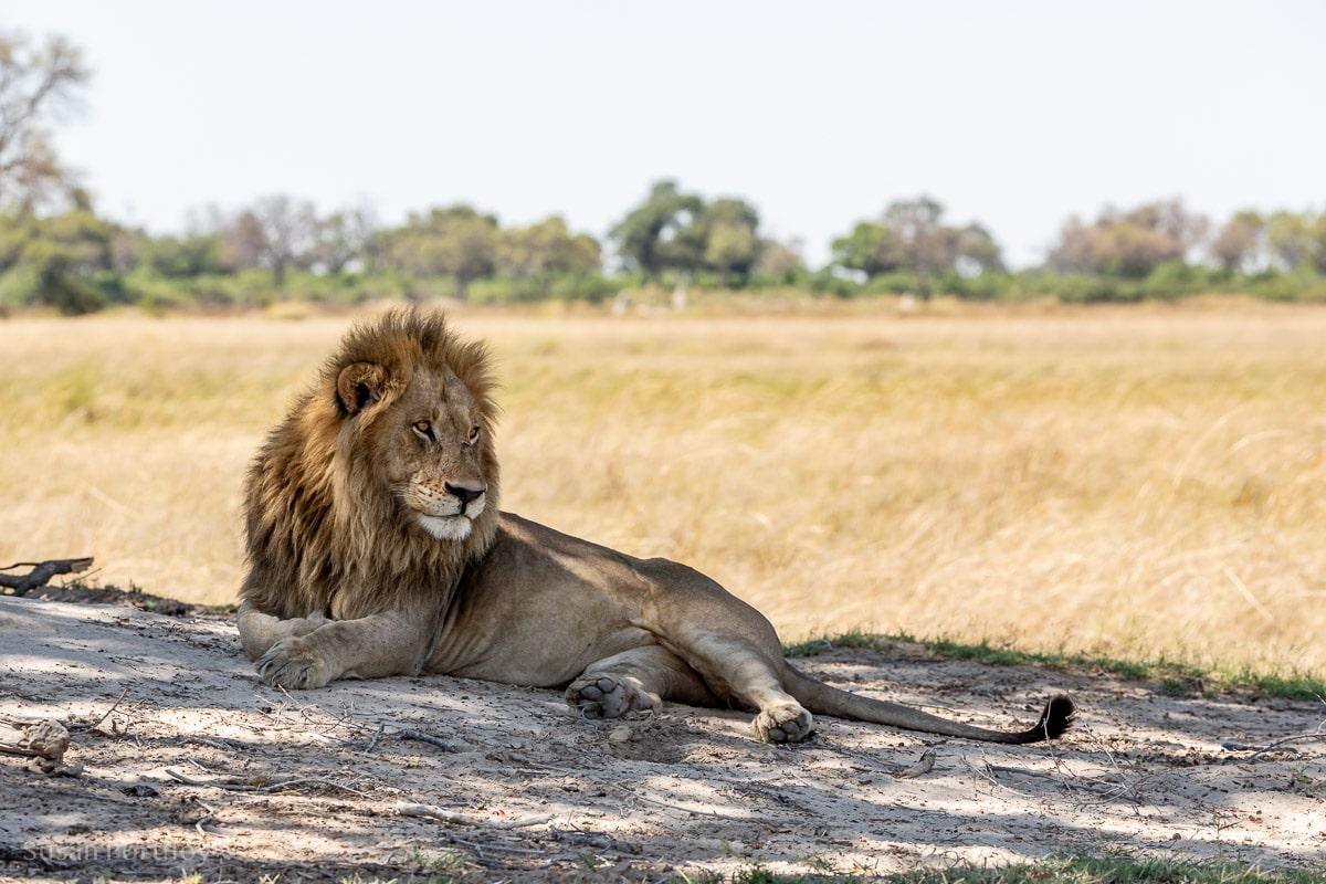 Male lion rests under a tree -Duba Explorers Camp Okavango Delta Safari, Botswana-215