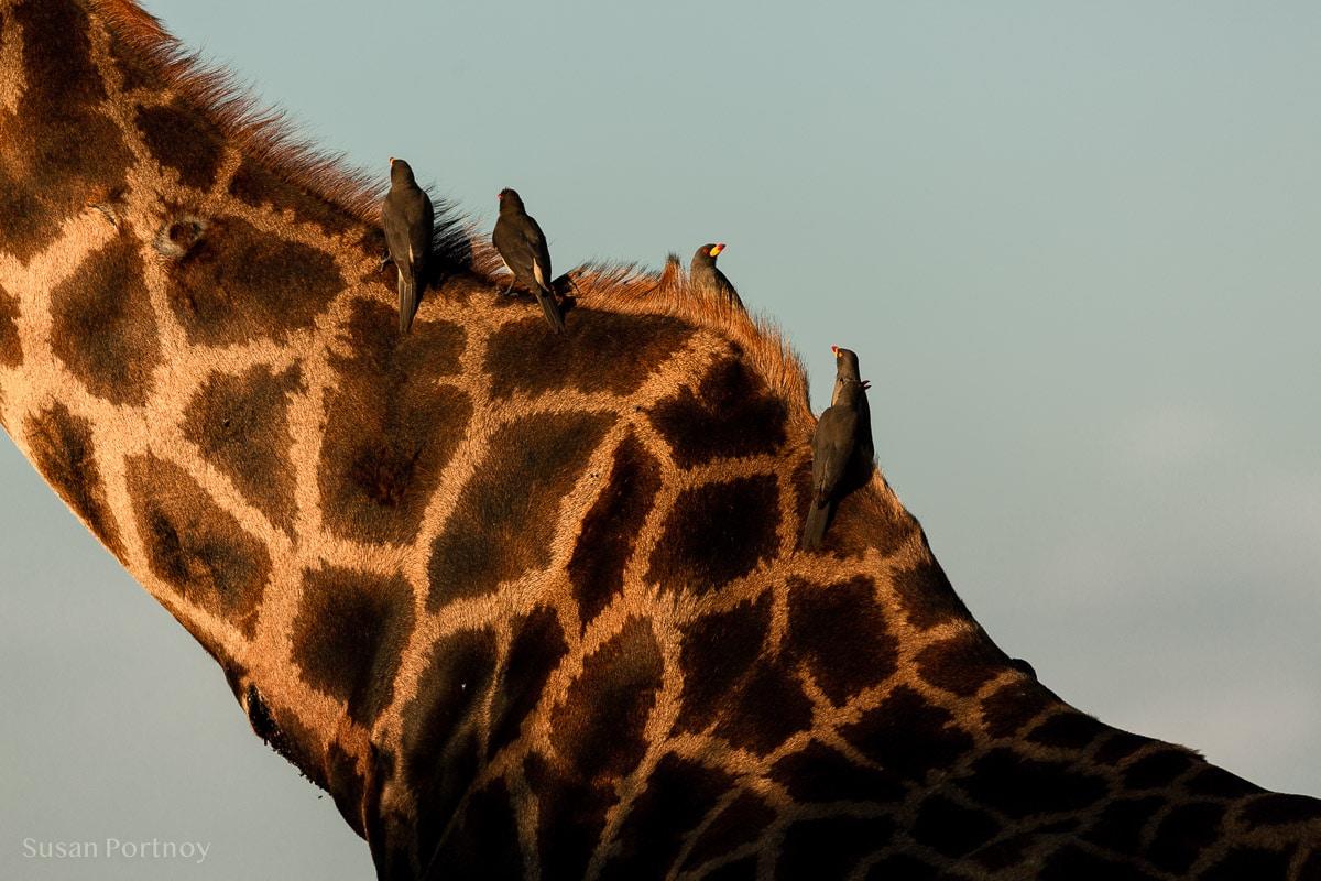 Oxpeckers hitch a ride on a friendly giraffe
