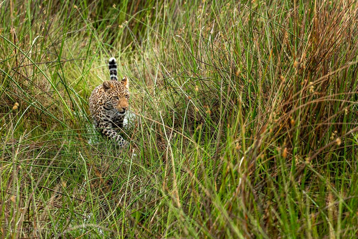 Beautiful leopard looks for a route through the marsh