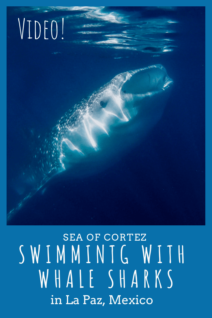 Swimming with whale sharks: one of the most fascinating experiences I've had. My video, stories, and photos will put you in the water with me!